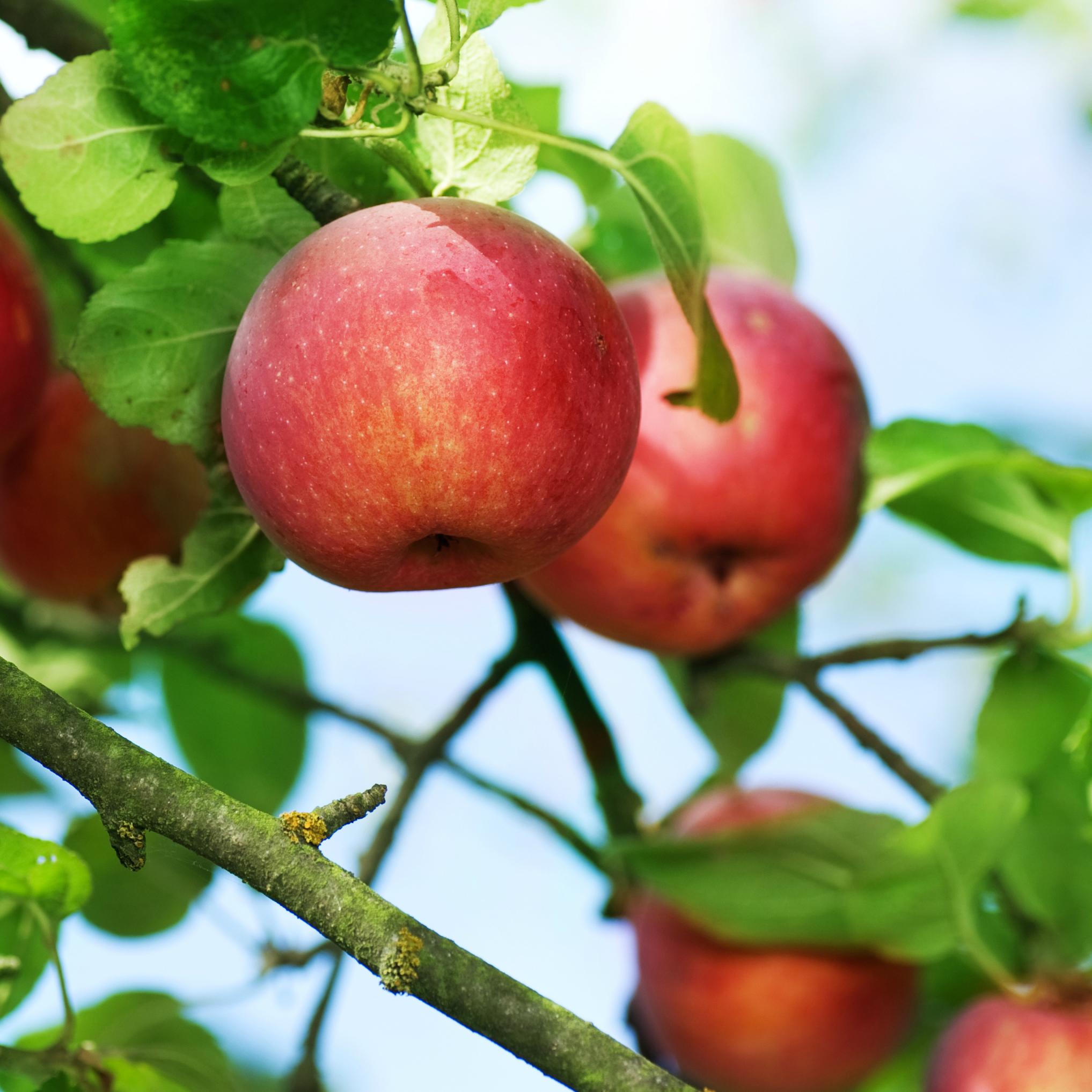Seguro Vides Manzanas y Peras